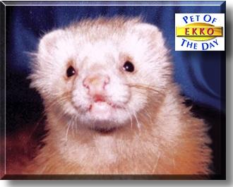 Ekko - Angora Ferret - July 30, 1999