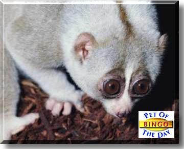 il lemure con gli occhioni di Madagascar