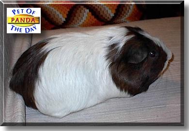 Panda Guinea Pig September 11 2000