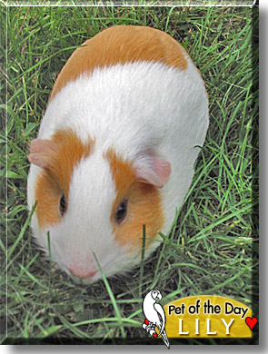 Guinea Pig Wanted Rhode Island
