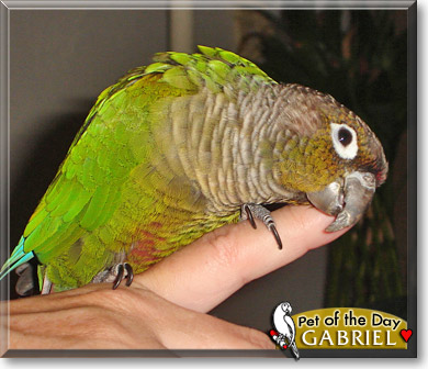 green cheek conure how to tell gender