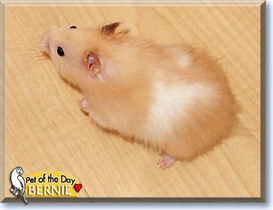 long hair teddy bear hamster MEMEs