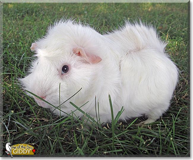 Pics photos cute guinea pigs names guinea pig names