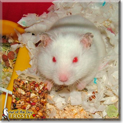 Frosty Syrian Hamster January 15 2012