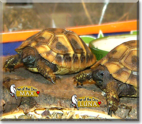 Max, Luna - Dalmatian Tortoises - March 9, 2012
