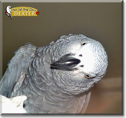 Dexter African Grey Parrot May 30 2012