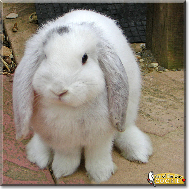 Cookie - Giant French Lop Rabbit - October 22, 2012
