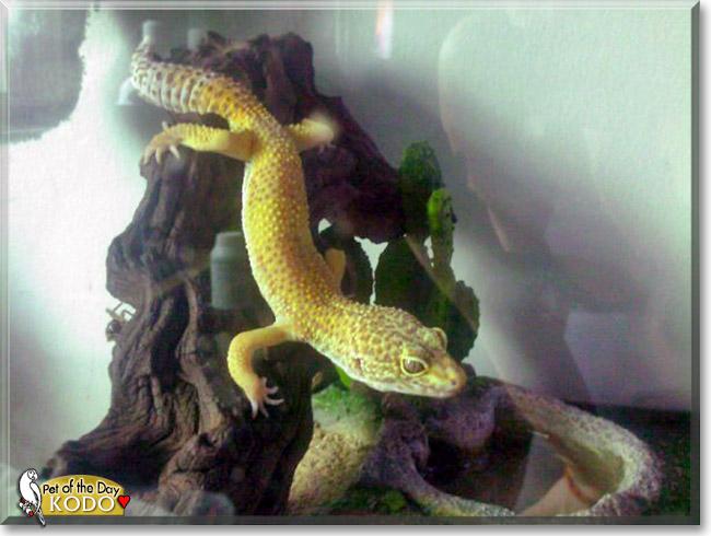 Kodo Leopard Gecko October 27 2012