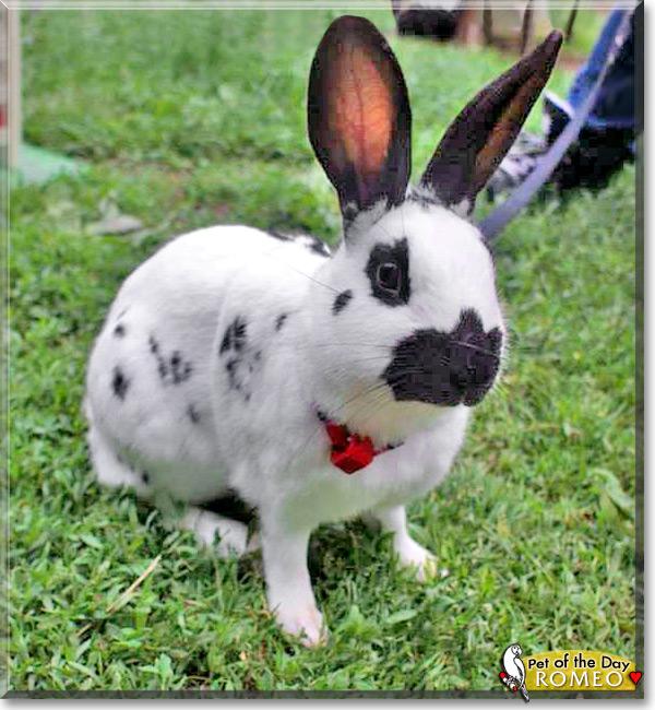 romeo   english spot rabbit   july 27 2013