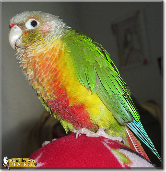 Pineapple green cheek conure