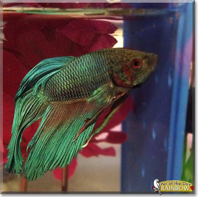 Rainbow the veiltail betta fish the pet of the day for Male veiltail betta fish