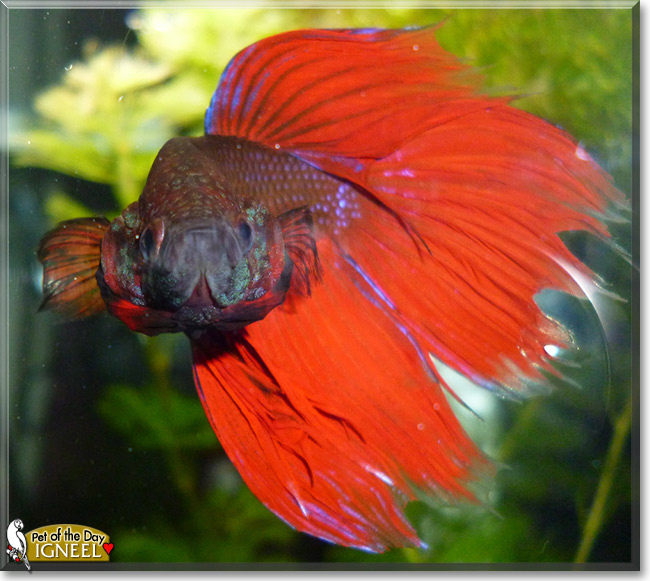 Igneel the veiltail betta fish may 15 2015 for Male veiltail betta fish