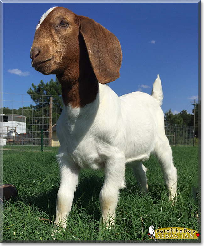 Sebastian the Boer Goat, the Pet of the Day