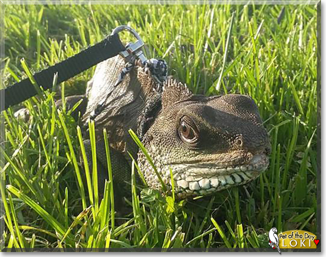 Loki the Chinese Water Dragon, the Pet of the Day