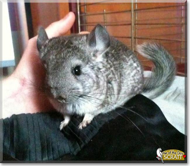 Scratt the Chinchilla, the Pet of the Day