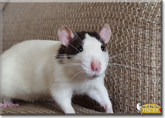Fancy rats as pets - photo#51