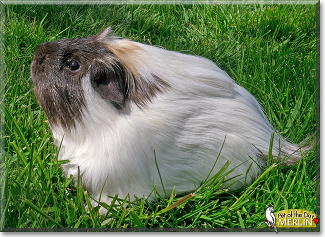 Merlin the Guinea Pig, the Pet of the Day