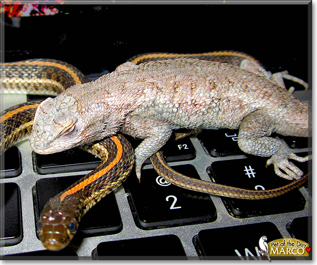 Marco the Western Fence Lizard, the Pet of the Day