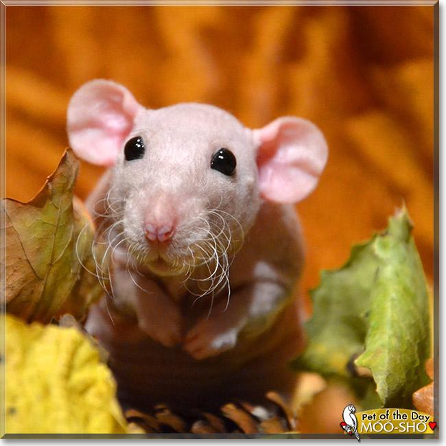 Hairless black dumbo rat pet  YouTube