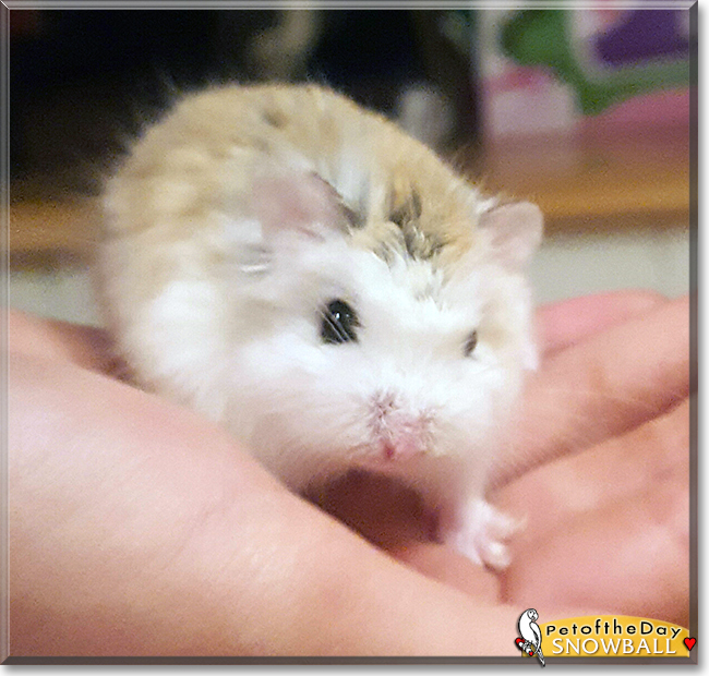Snowball the Roborovski Hamster, the Pet of the Day