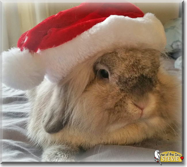 Stevie the Lionhead Rabbit cross, the Pet of the Day