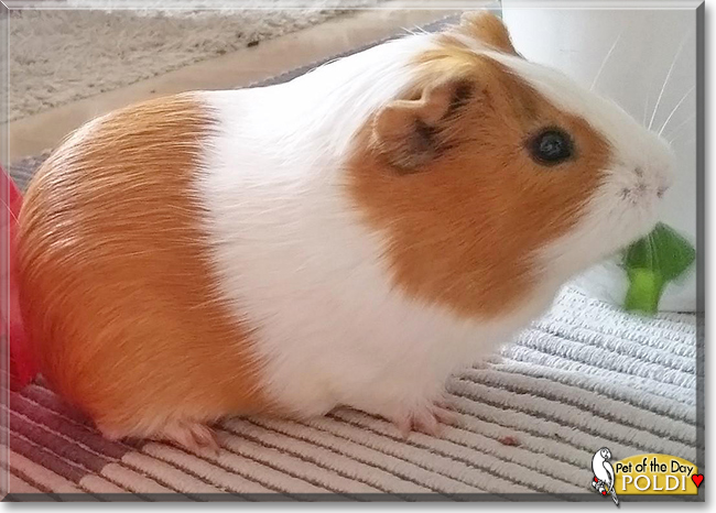 Poldi the Guinea Pig, the Pet of the Day