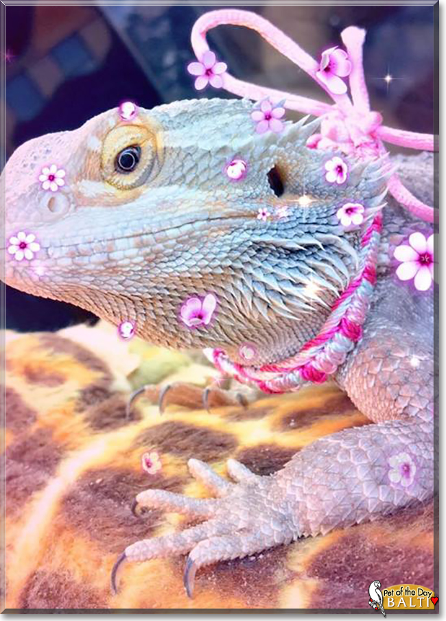 Balti the Bearded Dragon, the Pet of the Day