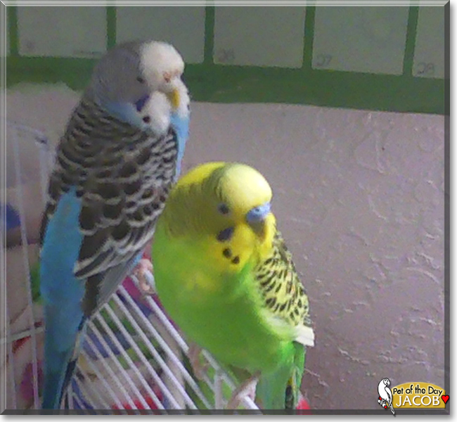 Jacob the Budgie, the Pet of the Day