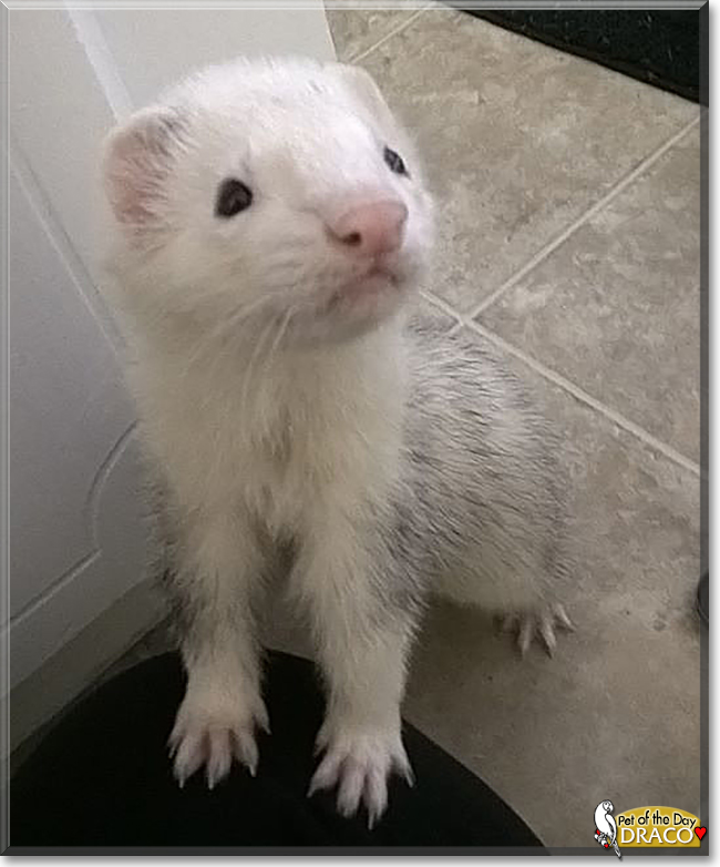 Draco the Ferret, the Pet of the Day