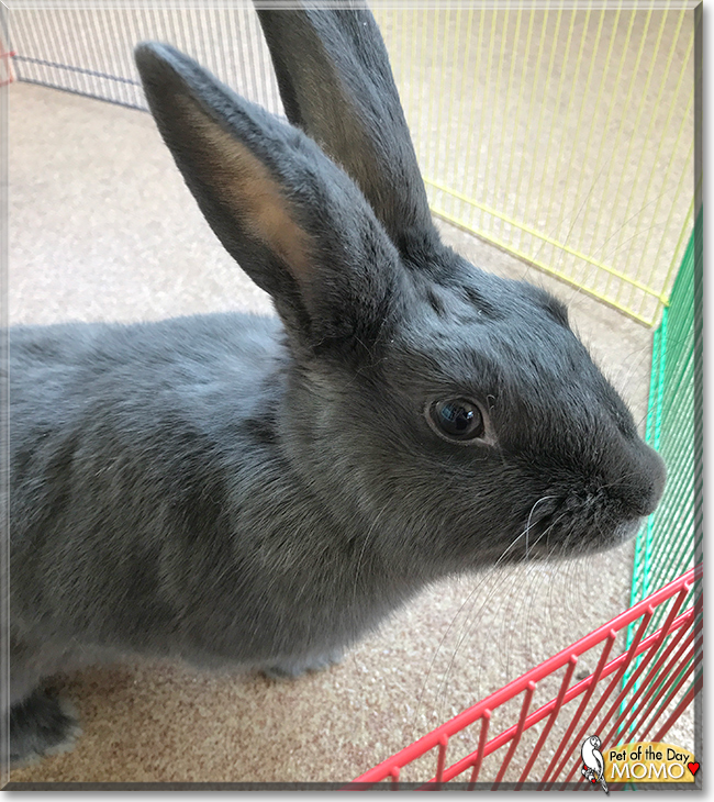 Momo the Rex Rabbit/Belgian Hare, the Pet of the Day