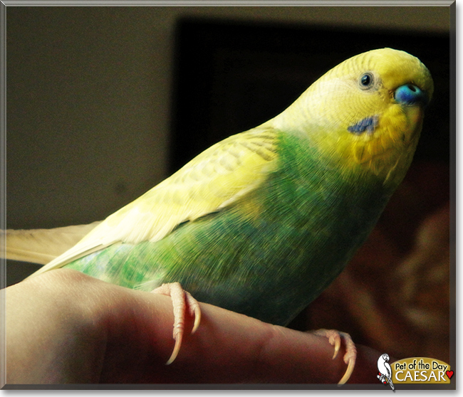 Caesar - Budgerigar - November 24, 2017
