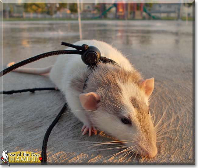 Hamuui the Dumbo Rat, the Pet of the Day