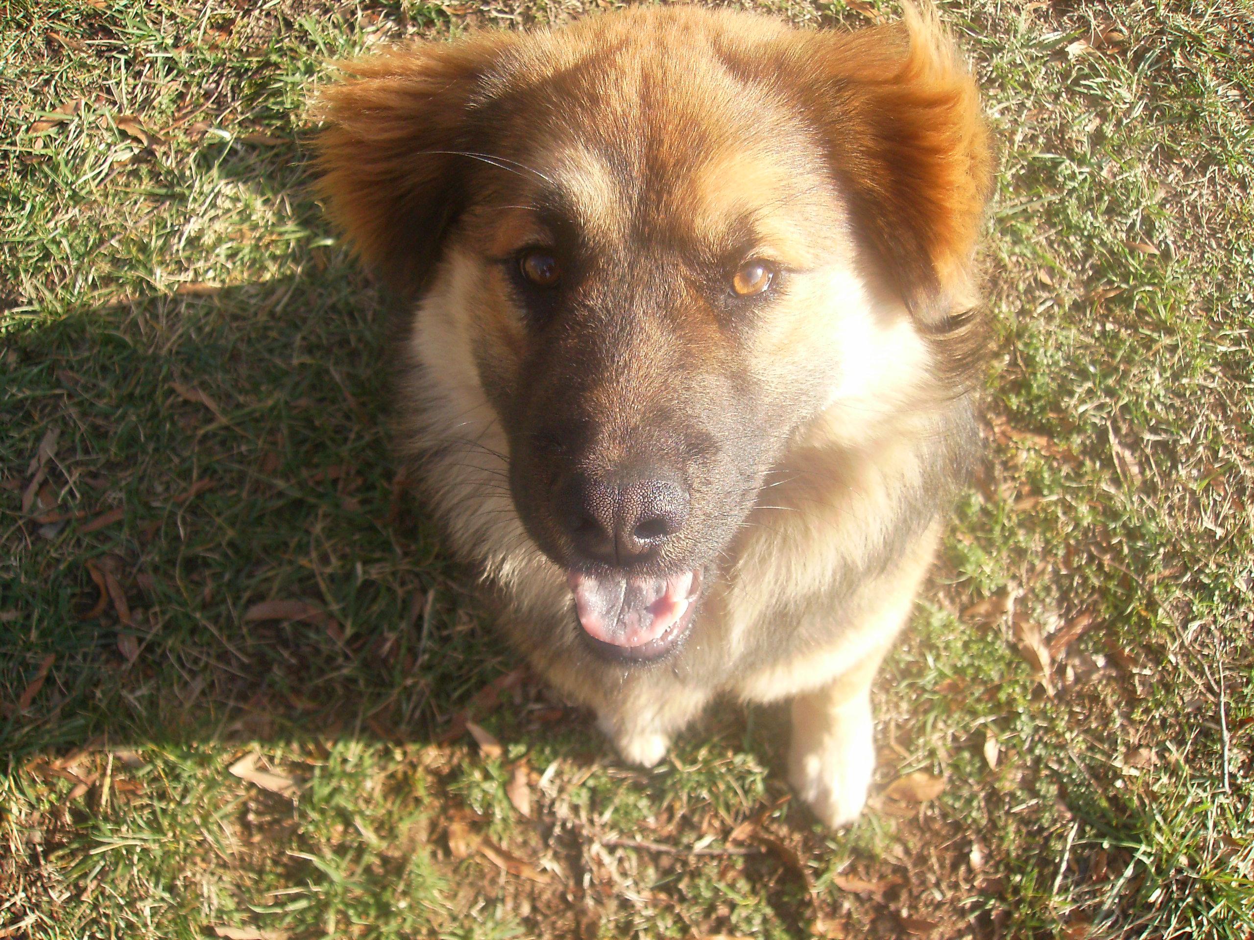 Chow Australian Shepherd Mix Dog