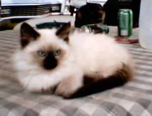 My Daddys Kitty Cat Such A Beautiful Kitten Possibly Snowshoe Mix