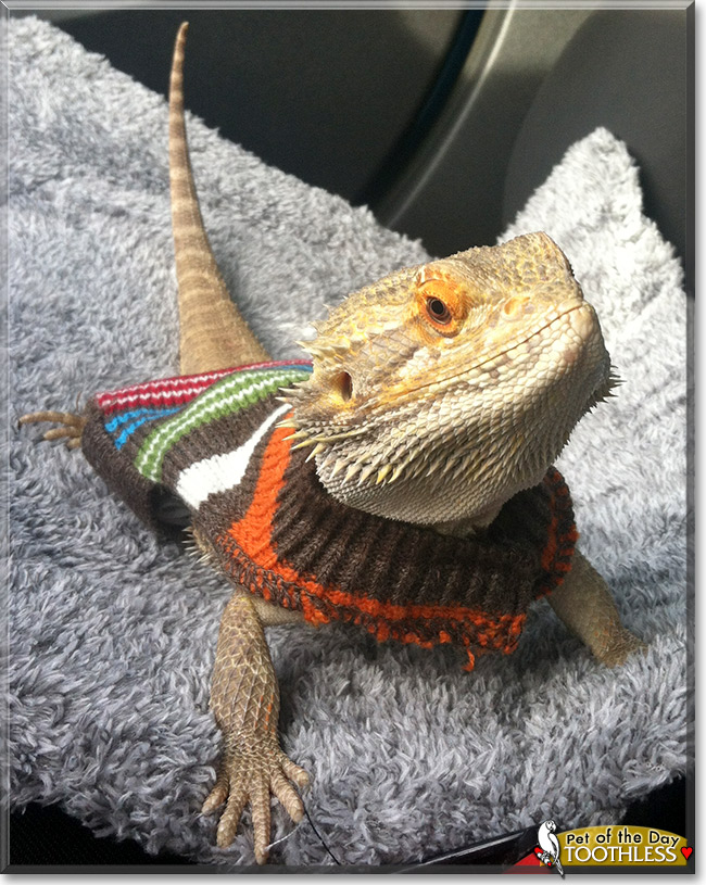 Bearded Dragon Sweaters Beardie Clothing Guinea Pig Clothes Rabbit Pet Clothing Hamster Hamster Sweater Hamster Clothes